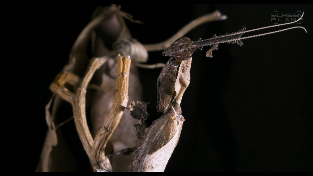 mantis1_o